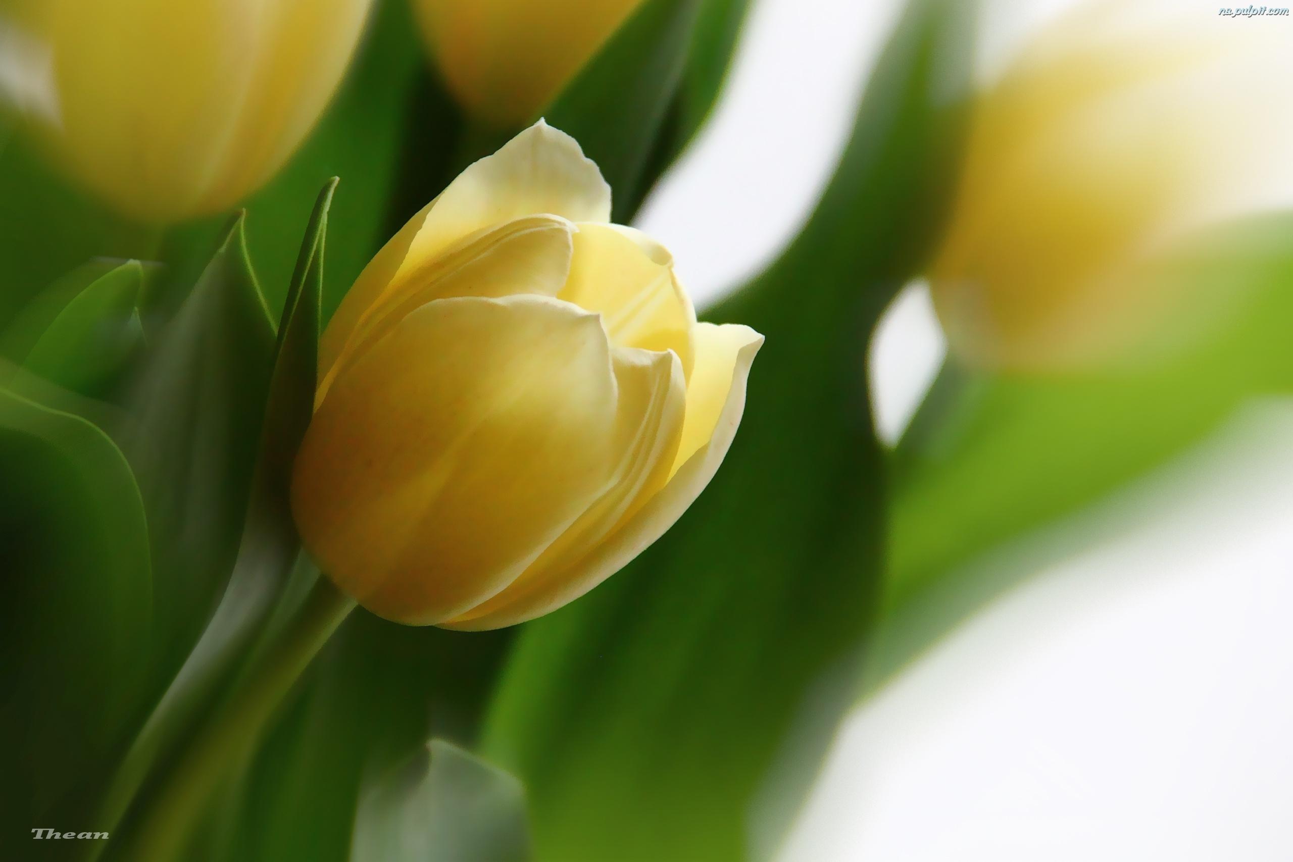 Tulipany+zdjcia